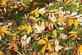 Fallen chestnut leaves (265938193).jpg