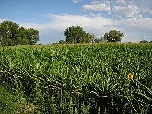Fallon, Nevada - Corn field in Fallon, August 2004