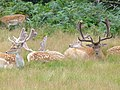 Fallow Deer in Richmond Park - geograph.org.uk - 507347.jpg
