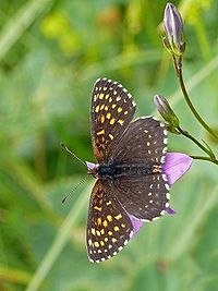 False Heath Fritillary.jpg