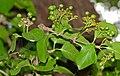 False Turkeyberry (Canthium armatum) (16462475912).jpg