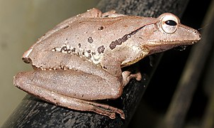 False hour-glass tree frog @ Kanjirappally 04.jpg
