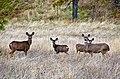 Family of Deer by Mosier Oregon-Columbia River Gorge (23896686365).jpg
