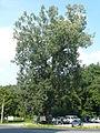 Famous tree Topol bílý v Pozorce in 2013 (1).JPG