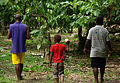 Farmer David Kebu Jnr, son Snider Kebu and Cocoa Research Officer walk though Kebu farm, east of Honiara. (10694926153).jpg