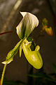 Fata Morgana, Paphiopedilum maudiae.jpg