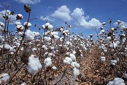 Feld mit reifer Baumwolle.jpeg