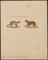 Felis manul - 1834 - Print - Iconographia Zoologica - Special Collections University of Amsterdam - UBA01 IZ22100264.tif