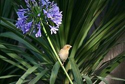 Female Southern Red Bishop (Euplectes orix).jpg