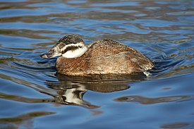 Female white headed duck.JPG