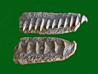 Archimedes (bryozoan) - Fossil stalks of Archimedes from Illinois, on display at Galerie de paléontologie et d'anatomie comparée in Paris