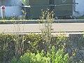 Fenouil à Capbreton (sauvage) au pont Lajus1.jpg