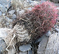 Ferocactus cylindraceus 9.jpg