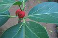 Ficus bengalensis fruit.jpg