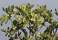 Ficus carica - Figs 02.jpg