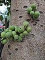 Ficus racemosa 2.jpg