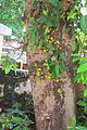 Ficus racemosa 3668.jpg