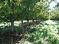 First fruit 8 - panoramio.jpg