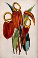 Flamingo flowers (Anthurium scherzerianum); flowers and leav Wellcome V0044755.jpg
