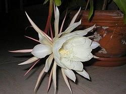 cactus plante