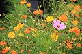 Fleurs oranges prairie Compans.jpg