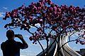 Floração dos ipês-roxos em Brasília 02.jpg