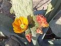 Flores de nopal (Opuntia sp.).jpg