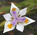 Flower (31065315763).jpg