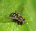 Flower Fly (8563275506).jpg