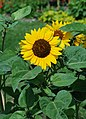 Flower July 2011-3.jpg