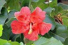 Flower of the maga tree.jpg