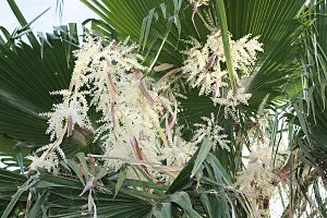 Washingtonia robusta - Image: Flowering Mexican Date Palm