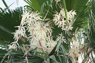 Washingtonia robusta - Image: Flowering Mexican Date Palm
