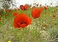 Flowers شقایق - panoramio.jpg