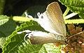 Fluffy Tit female (6602091941).jpg