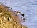 Flussuferläufer (2) (34185015824).jpg