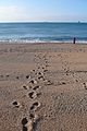 Footsteps in the sand (3185033165).jpg