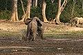 Forest elephant group 7 (6987536323).jpg