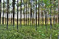 Forest plot near the reserve Swamp near the lakes Khutyn and Sorochye.jpg