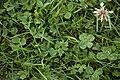 Four-leaf Clover Trifolium repens 1.jpg