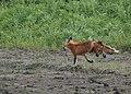 Fox at Riverlands (34173350211).jpg
