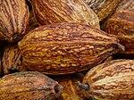 Früchte des Kakaobaumes.JPG