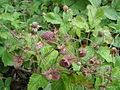 Fragaria moschata fructus1.JPG