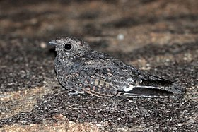 Freckled nightjar (Caprimulgus tristigma) male.jpg