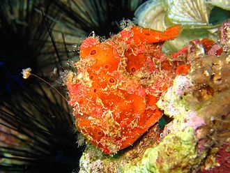 Frogfish - A frogfish in Mactan, Philippines