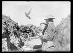 Front anglais, pigeons voyageurs.jpg