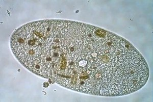 File:Frontonia leucas.ogv