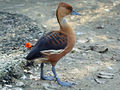 Fulvous Whistling-Duck (Dendrocygna bicolor) RWD.jpg