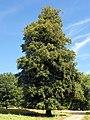 GOC Bengeo to Woodhall Park 125 Hornbeam (Carpinus betulus) (8106651650).jpg