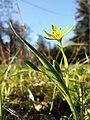 Gagea pratensis subsp. transversalis sl3.jpg